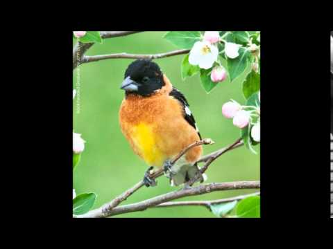 Black-headed Grosbeak Song