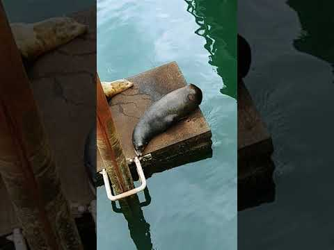 Harbor Seals in Newport, OR 4/29/18