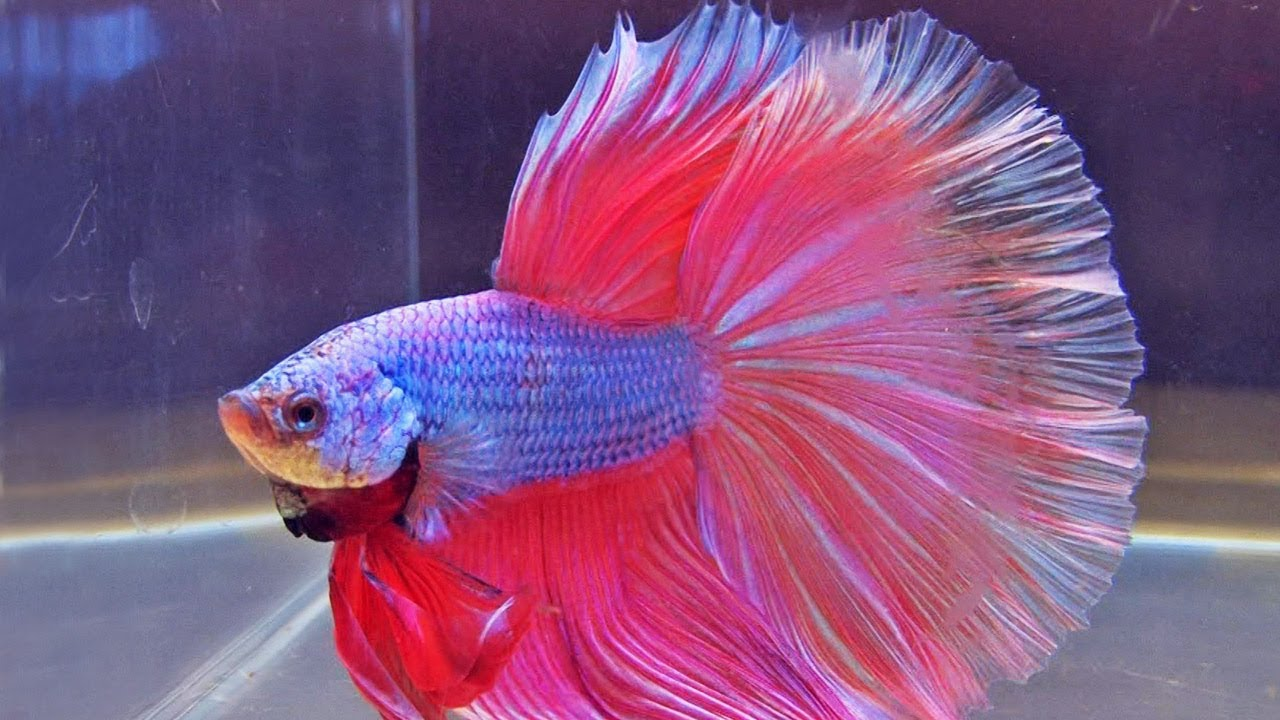 Pet fish videos for kids childrens youtube for Purple betta fish