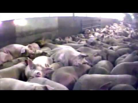 Farm to Fridge - The Truth Behind Meat Production (4-minute version)