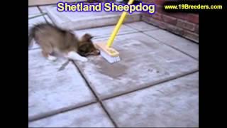 Shetland Sheepdog, Puppies, For, Sale, In, Wichita, Kansas, Ks, Pittsburg, Hays, Liberal, Prairie Vi