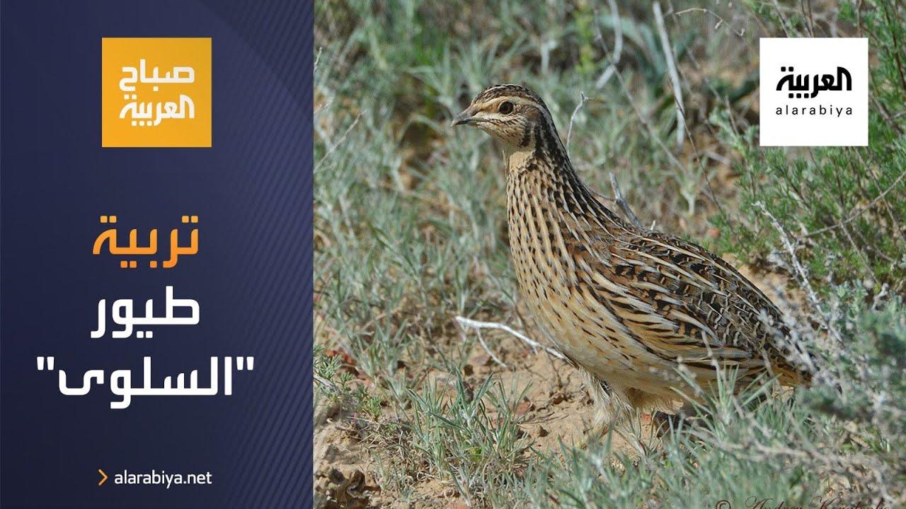 صورة فيديو : صباح العربية | شابان كرديان يؤسسان مشروعا لتربية طيور السلوى