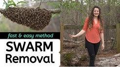 Beekeeping For Beginners | Fast & Easy Swarm Removal Method