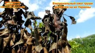 видео Почему чернеют листья у груши, как лечить