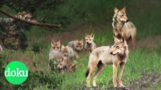 Wölfe - Schützen oder schießen? | WDR Doku