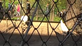 Японский журавль,зоопарк,СПб