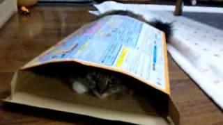 箱が大好きなルビーちゃんです☆(メインクーン)