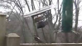 Hairy Woodpecker vs Downy Woodpecker