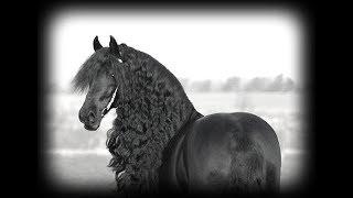 Фриз - одна из самых красивых пород лошадей. Фризская порода лошадей. Friesian horse