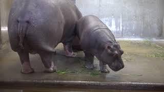 2018年4月20日、王子動物園のカバ一家です。出目男、ナミコ、一歳になっ...