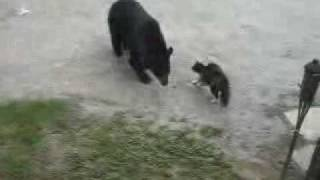 Hero cat scares bear away!