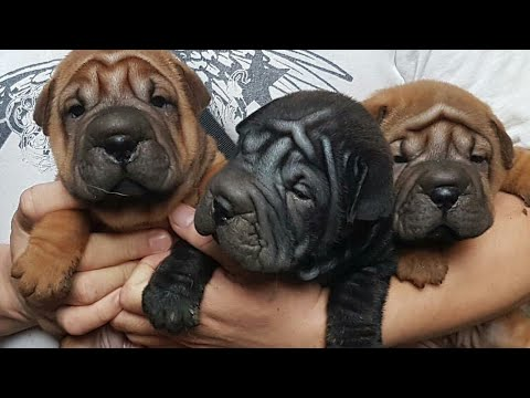 Sharpei dog breed sell in lucknow,U.P ,india