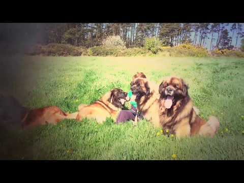 Leonberger Antics episode 104