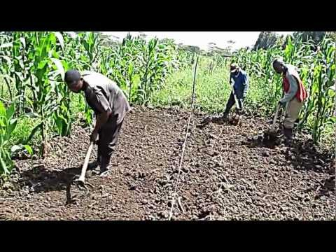 Growing vegetables:spinach,cabbages and sukumawiki (kales) - seedbed preparation stage