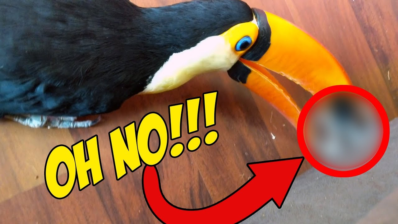 pet-toucan-find-s-something-forbidden