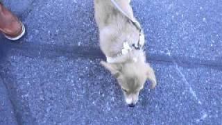 散歩デビューにそなえて、初めて地に降り立ったコーギーの子犬、ガチン...