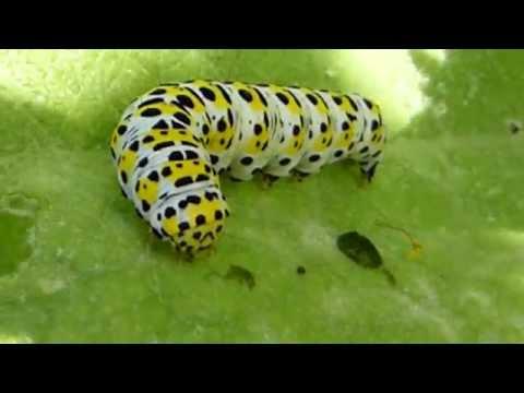 Verbascum thapsus - Mullein caterpillars  - Fiðrildalirfa - Kóngaljós - Garðyrkja