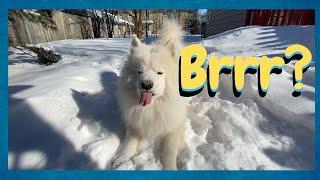 Samoyed Dog  Everything About Big White Fluffy Dogs