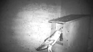 Aves rapaces en las casetas-nido de ACCIONA