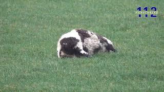 Dode schapen in weiland Beerzerveld