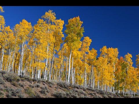 Fishlake National Forest Pando Clone