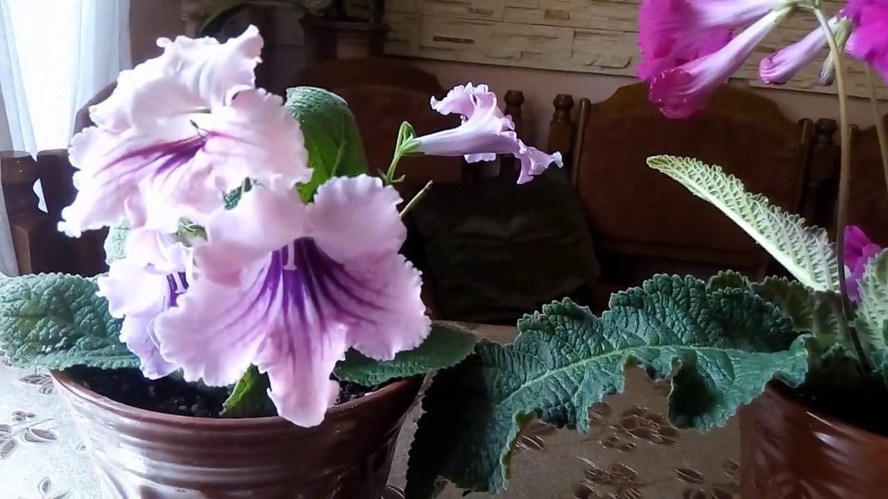 Комнатный цветок—Стрептокарпус. Уход,размножение,вредители.