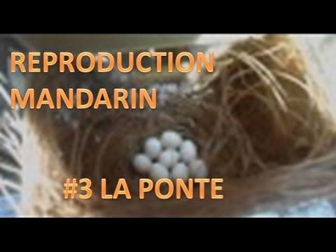 tout sur la reproduction du diamant mandarin: #3 construction du nid+ponte record