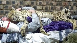 The Living Purring Cheetah Blanket Special Needs Big Cat Relaxes Beyond Nirvana From Neck Massage