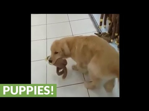 Golden Retriever puppy picks out new toy at pet store