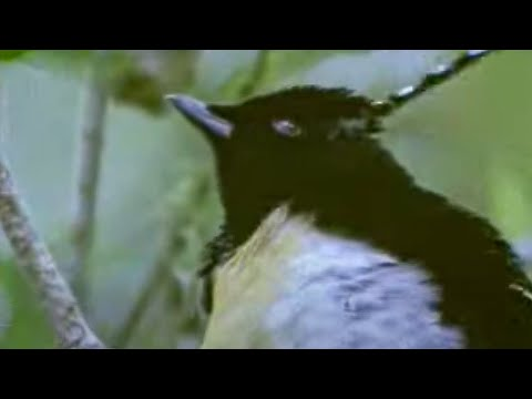 Animal mating ritual of the exotic greater bird of paradise - David Attenborough - BBC wildlife