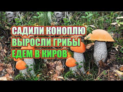 Вопрос: Где растут грузди (белые и черные) в Кировской области Какие места?