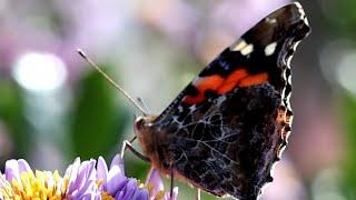천리포수목원 진다이개미취꽃에 몰려든 벌과 나비들