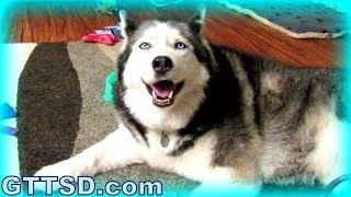 Huskies Shedding? Cuddle Clone? Fan Friday 150
