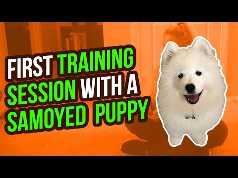 FIRST TRAINING SESSION WITH A SAMOYED PUPPY