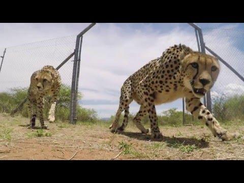 HESC releases two cheetahs onto Air Force Base Makhado
