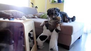 Parson Russell Terrier Welpen Mit Mini Aussie Welpe Und Mini Aussie