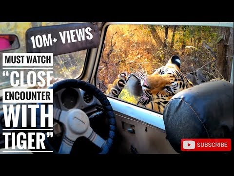 Must watch 'close encounter with tiger T6 cubs (bittu and srinivas)', karhandla 1-1-16