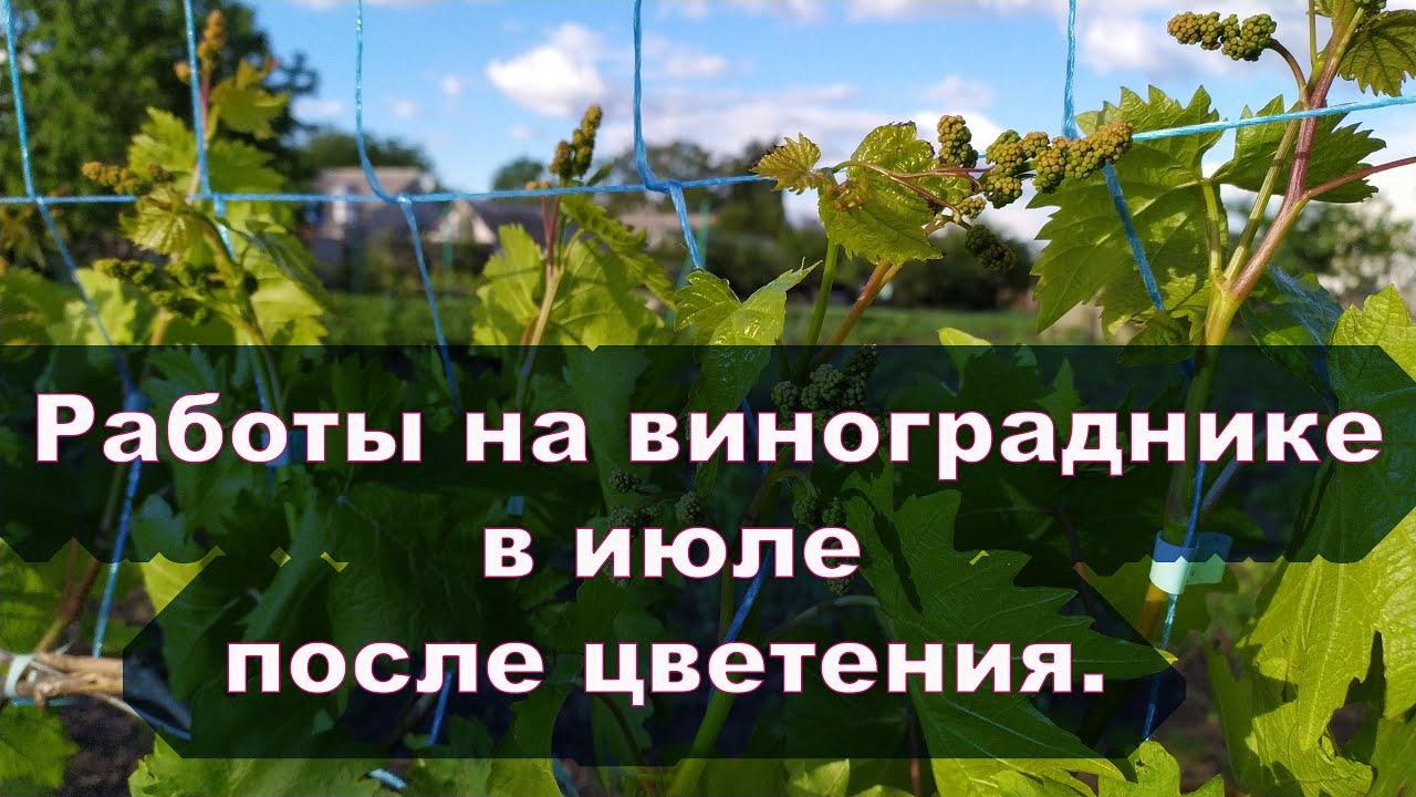 Работы на винограднике  в июле после цветения.