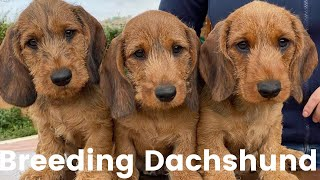 Enjoys Breeding Dachshund, playful memories with funny Dachshund dogs, wirehaired dachshund puppies