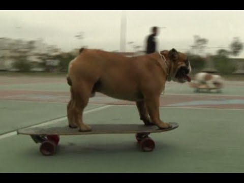 Bulldogs display their skateboarding abilities in Peru
