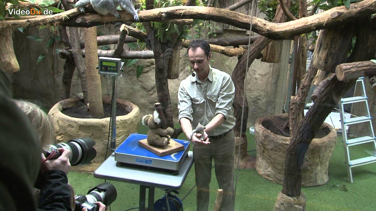 zoo duisburg koala baby youtube. Black Bedroom Furniture Sets. Home Design Ideas