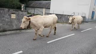 vaches qui descendent de la Montagne à Ferrieres