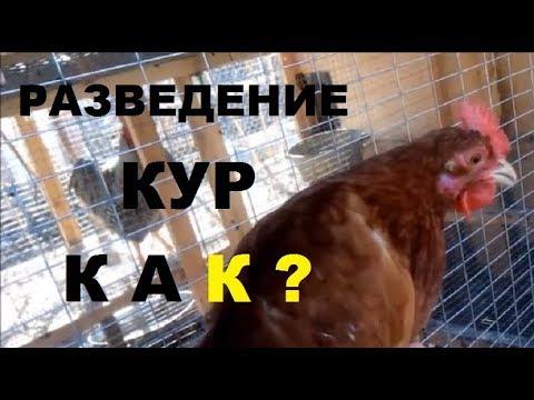Содержание цыплят в домашних условиях для начинающих