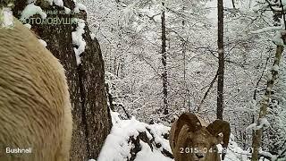 ID3064/Фонд Снежный Барс/Горной тропой (Кодарский снежный баран)