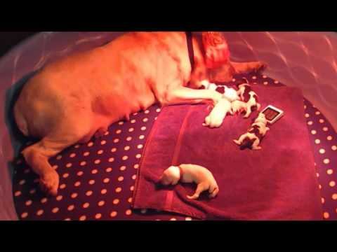 Spinone puppy Saturday live feed 10.01/16