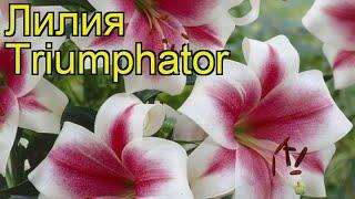 лилия (Triumphator). Краткий обзор: Лилия описание характеристик, где купить луковицы