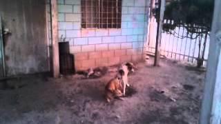 Repeat youtube video perro grande nonta una perra chica