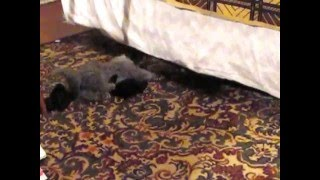 Кот Лев любит носки. Lion, the cat loves socks.