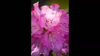 笹みどり - 女の花ざかり