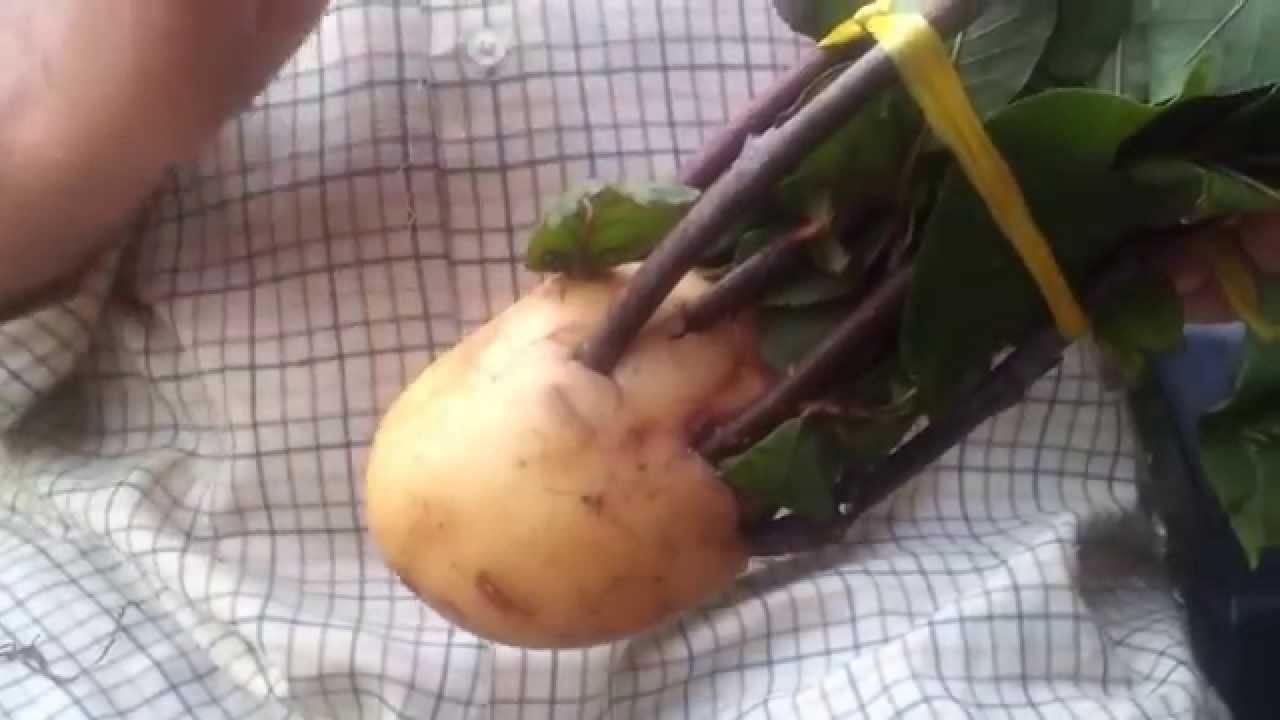 Como conservar unas ramas para hacer injertos youtube - Cuando plantar frutales ...